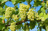 Green Dessert Grape 5 Seeds - Very Sweet